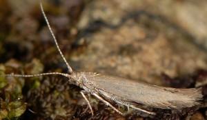 Coleophora laricella 4