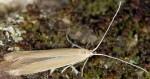 Coleophora lassella (I, G)
