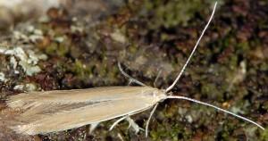 Coleophora lassella 1