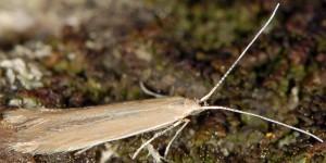Coleophora lassella 2