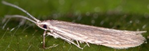 Coleophora lassella 3