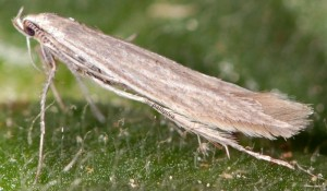 Coleophora lassella 4