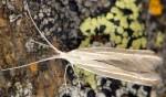 Coleophora lineata (I)