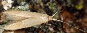 Coleophora lutipennella 06 1