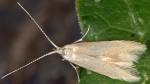 Coleophora lutipennella (I)
