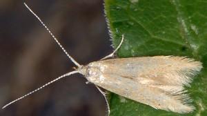 Coleophora lutipennella 1