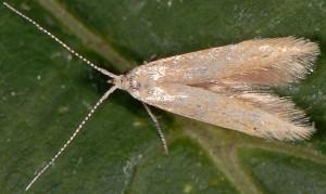 Coleophora lutipennella 2