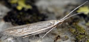 Coleophora maritimella 4