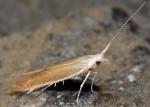 Coleophora medelichensis (I, G)