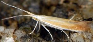 Coleophora medelichensis 2
