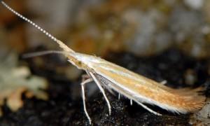 Coleophora medelichensis 3