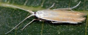 Coleophora medelichensis 5