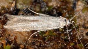 Coleophora millefolii 2
