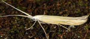 Coleophora nepetellae