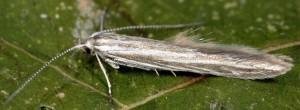 Coleophora nubivagella 1