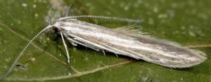 Coleophora nubivagella 2