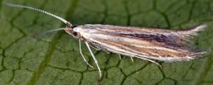 Coleophora nubivagella 6