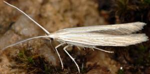 Coleophora nutantella 01