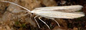Coleophora nutantella 02