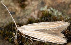 Coleophora nutantella 04
