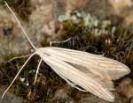 Coleophora nutantella (I)