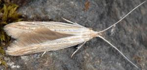 Coleophora nutantella 07