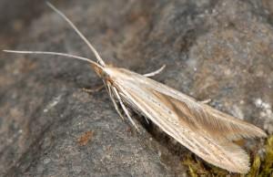 Coleophora nutantella 09
