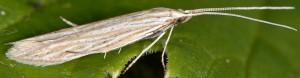 Coleophora nutantella 10