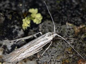 Coleophora obtectella 1