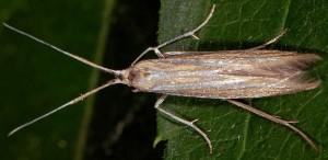 Coleophora ochrea 1