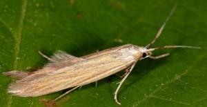 Coleophora ochrea 3