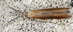 Coleophora onopordiella 83 5
