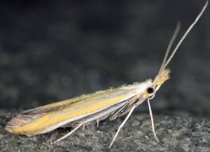 Coleophora oriolella 2
