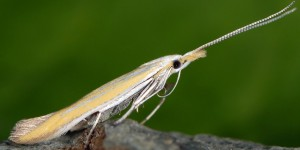 Coleophora oriolella 3