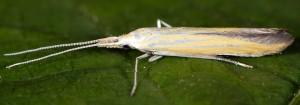 Coleophora oriolella 4