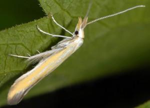 Coleophora oriolella 5