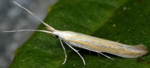 Coleophora oriolella 6