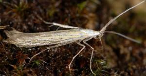 Coleophora ornatipennella 2