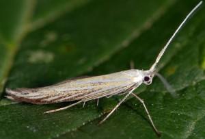 Coleophora ornatipennella 3
