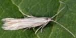 Coleophora otidipennella (I)