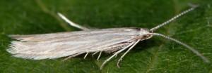 Coleophora otidipennella 4