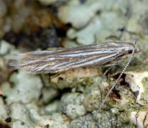 Coleophora pappiferella 1