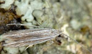 Coleophora pappiferella 2