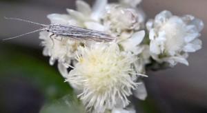 Coleophora pappiferella 3