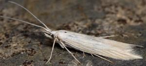 Coleophora paucinotella 1