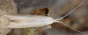 Coleophora paucinotella 2