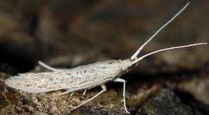 Coleophora peisoniella
