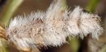 Coleophora pennella