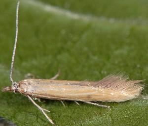 Coleophora perplexella 2