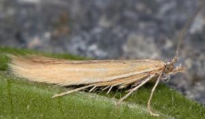 Coleophora perplexella 3